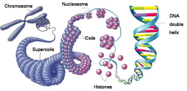 00-eukaryotic-chromosomes